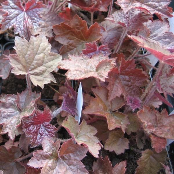 Purpurglöckchen, Heuchera micrantha Palace Purple, Blattschmuck, Staude im 0,5 Liter Topf