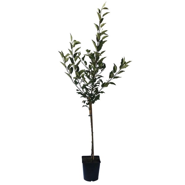 Apfelbaum Roter James Grieve Zwergapfelbaum Balkonobst Terrassenobst 100-120 cm 5 Liter Topf M9