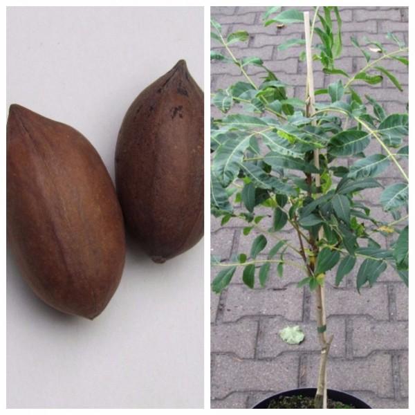Pekannussbaum veredelte Sorte Pawnee Carya illinoinensis Pekannuss ca. 60-100 cm 10 Liter Topf