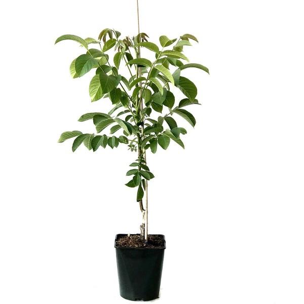 Zwerg- Walnussbaum Mini Multiflora Nr. 14 veredelter Walnussbaum ca. 60-100 cm im 5 Liter Topf