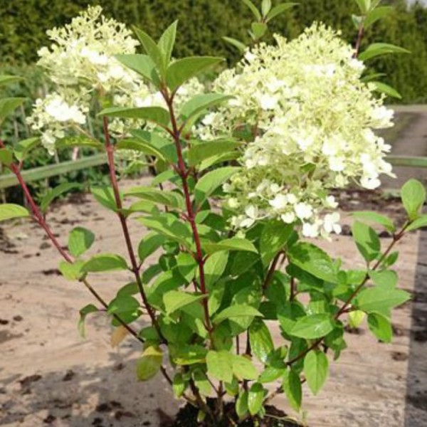 rispenhortensie bobo hydrangea paniculata 1 pflanze im 3 liter topf ca 30 40 cm gr ner. Black Bedroom Furniture Sets. Home Design Ideas