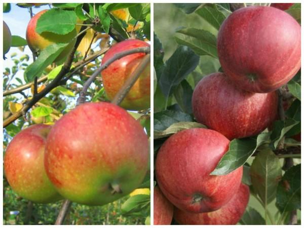 Duo Apfel S3: ein Buschbaum mit zwei Apfelsorten Topaz und Gala, im 7,5 Liter Topf M7