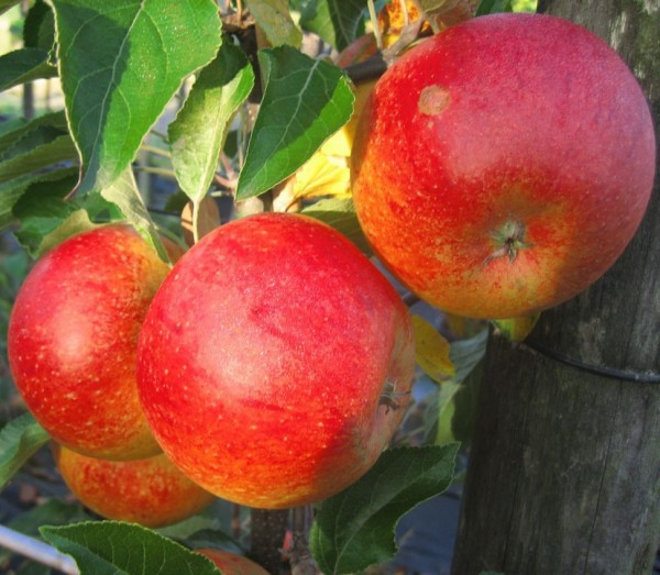 Angebot! Cox Orange, Winter Apfel, Buschbaum ca. 100-120 cm 5 Liter Topf, MM 111
