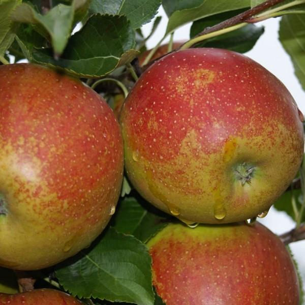 Wellant ® Fresco Apfel für Apfelallergiker