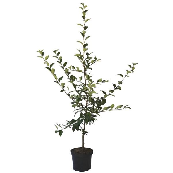 Quittenbaum Konstantinopeler Apfelquitte Buschbaum 120-150 cm im 9,5 Liter Topf Unterlage Quitte A