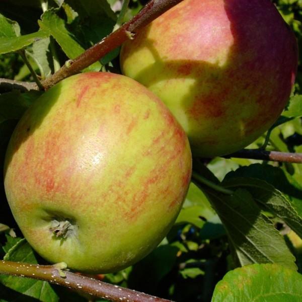 Geheimrat Oldenburg saftig würzig Herbstapfel Apfelbaum Buschbaum 120-150 cm 7,5 L Topf MM111