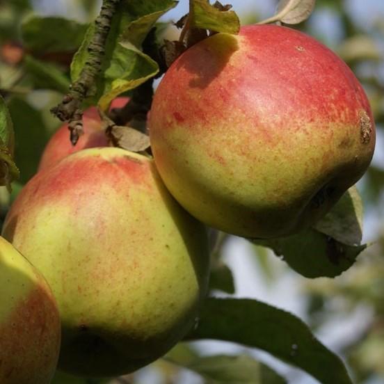 Rheinischer Bohnapfel alte Kultursorte Apfel Hochstamm ca. 180 cm Stamm wurzelnackt