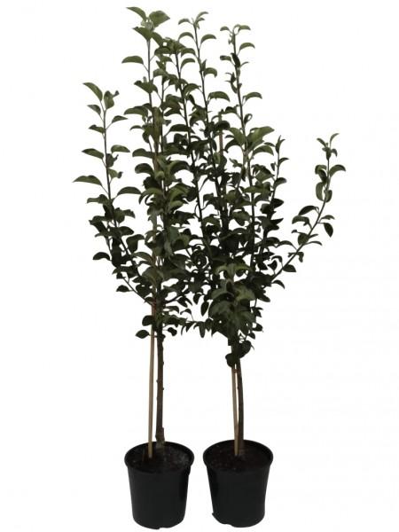 2er Set Apfelbaum + Birnenbaum Rubinola MM111 + Gute Luise  + 1 P Dünger Busch 120-150 cm  9,5 L