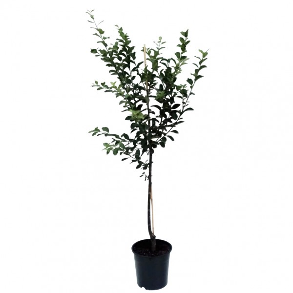 Mirabellenbaum Nancy Mirabelle  kleinbleibend Buschbaum 120-150 cm 10 Liter Topf Wangenheims
