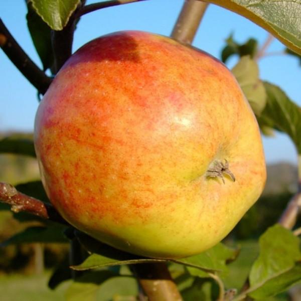 Apfelbaum Johannes Böttner selbstfruchtbarer Winterapfel Buschbaum 150-170 cm 10 L Topf Unterlage M7