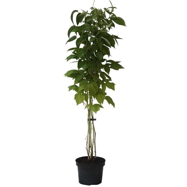 Himbeerepflanze Lubera (R) Twotimer (R) Sugana (S) zweimal tragende Himbeere 60-100 cm 3 Liter Topf