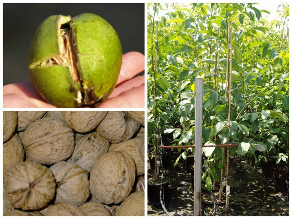Franquette veredelte Walnussbaum - französichge Walnuss Sorte ca. 20-40 cm 7,5-10 L Topf
