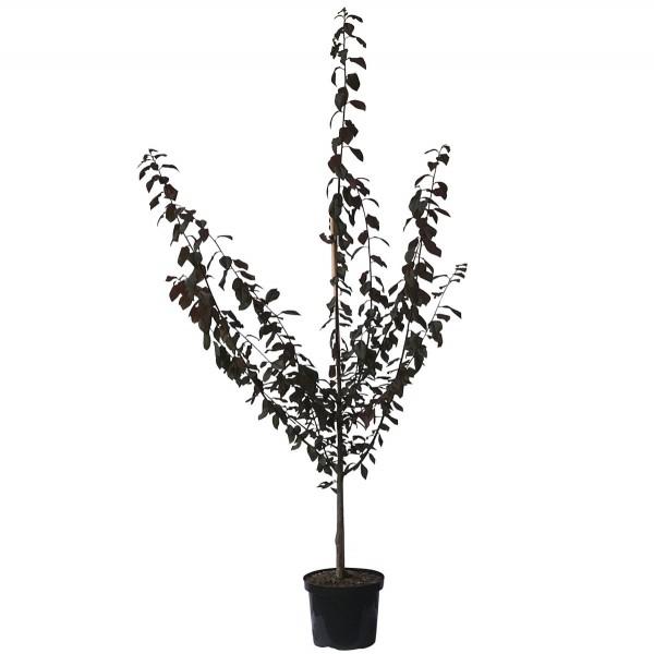 Trailblazer Blutpflaume Hollywood rotlaubig Buschbaum 150-170 cm Veredelungsunterlage St. Julien Slg