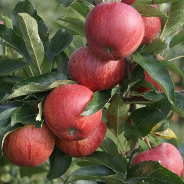 Vierling Apfel S3: Gala, Elstar, Cox Orange, Topaz Ⓢ im 7,5 Liter Topf, Veredelungsuntelrage M7