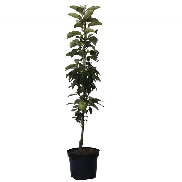 1a-plant Jarle Ⓡ Säulenapfel aus Arbat + Red River Geschmackssieger! 80-120 cm im 7,5 Liter Topf, M7