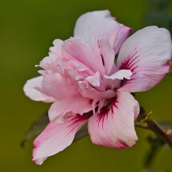 Gartenhibiskus Roseneibisch Hibiscus syriacus Pink Chiffon zartrosa Blüte ® 60-80 cm 5 LTopf