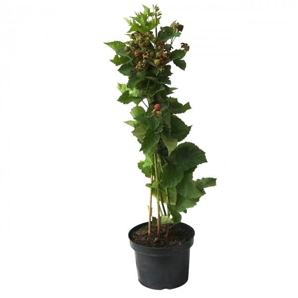 Little Black Prince ® kompaktwachsende dornenlose Brombeere ca. 40 hoch im 3 Liter Topf