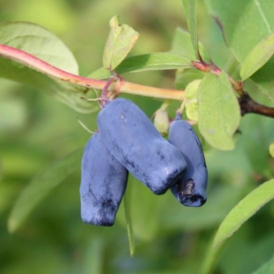 Sibirische Blaubeere Myberry Sweet ® - Lonicera kamtschatica