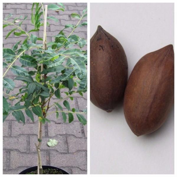 Pekannussbaum, veredelte Sorte Carlson 3, Carya illinoinensis, Pekannuss 60-100 cm, im 10 Liter Topf