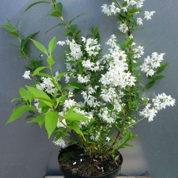 2 er Set Maiblumenstrauch Deutzia gracilis kleine Deutzie weiß blühend 20-40 cm im 1-3 Liter Topf