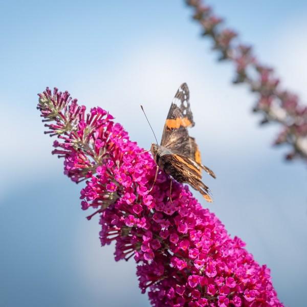 Sommerflieder Buddleja davidii Miss Ruby rot blühend duftend Bienenweide