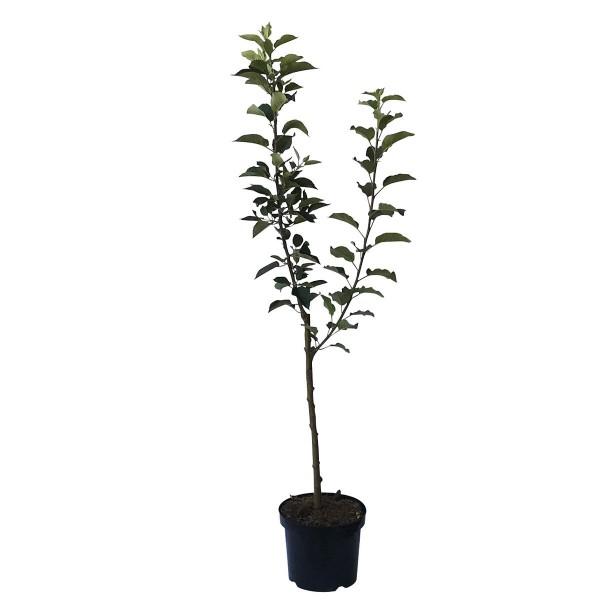 2er-Set Apfelbaum ReglindisⓈ Herbstapfel und Rewena Winterapfel 120-150 cm 9,5 L Topf, M26