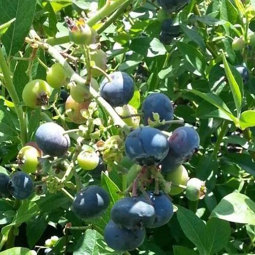 Heidelbeere Northland, robuste Blaubeere vaccinium corymbosum 40-60 cm groß 3 Liter Topf