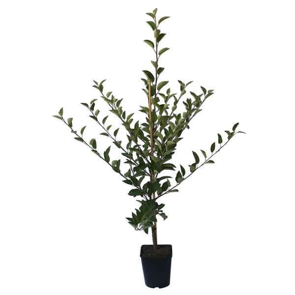 Apfelbaum Roter Gravensteiner früher Herbstapfel Spindelbaum 100-120 cm im 5 Liter Topf Unterlage M7