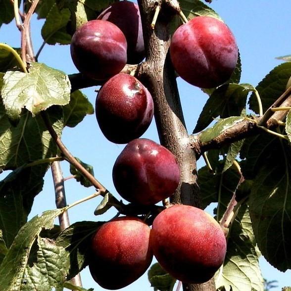 Königin Viktoria Pflaume, Pflaumenbaum Buschbaum 150-170 cm 10 Liter Topf, Unterlage: St. Julien A