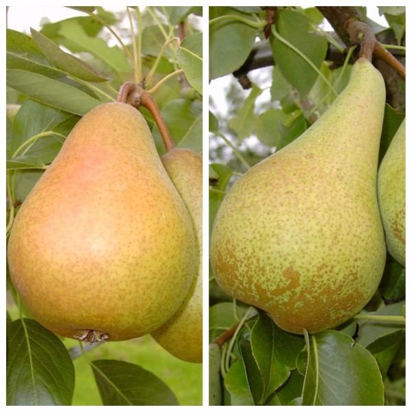 Duo Birnenbaum Gellerts Butterbirne und Condo 2 Sorten auf einem Baum, Unterlage Quitte A