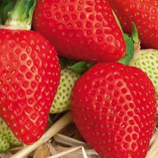 Erdbeere Florence