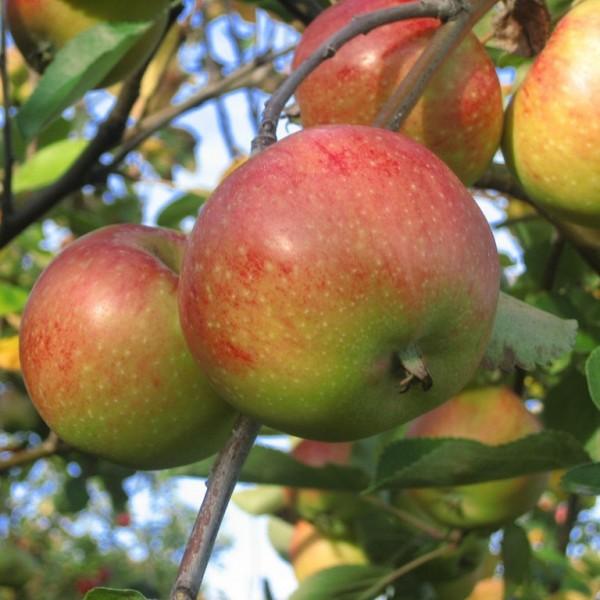 Apfelbaum Johannes Böttner Winterapfel Halbstamm selbstfruchtbar 170-200 cm 10 L Topf Unterlage M7