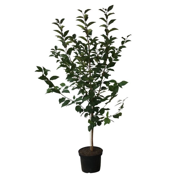 Safir Ⓢ robuste Sauerkirsche Buschbaum ca. 120-150 cm im 10 Liter Topf wurzelecht