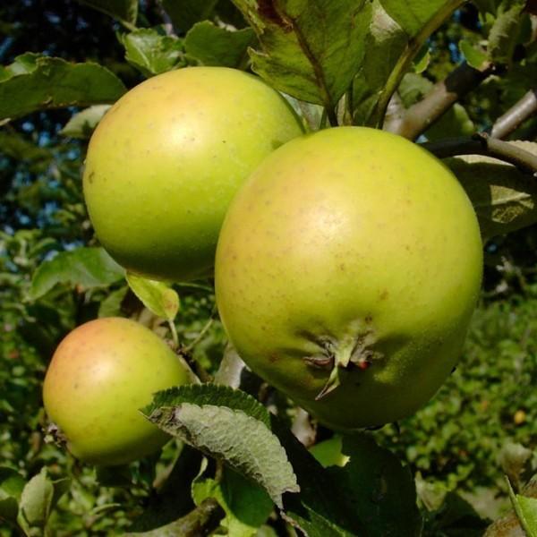 Apfelbaum Ananasrenette Liebhabersorte säuerlicher Herbstapfel Buschbaum 120-150 cm 7,5 L Topf MM111