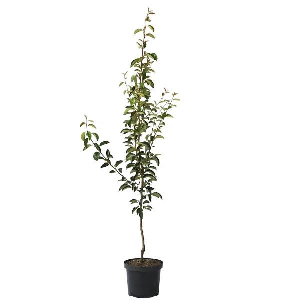 Birnenbaum Williams Christ Herbstbirne Tafelbirne Buschbaum 150-170 cm 10 Liter Topf  Quitte A