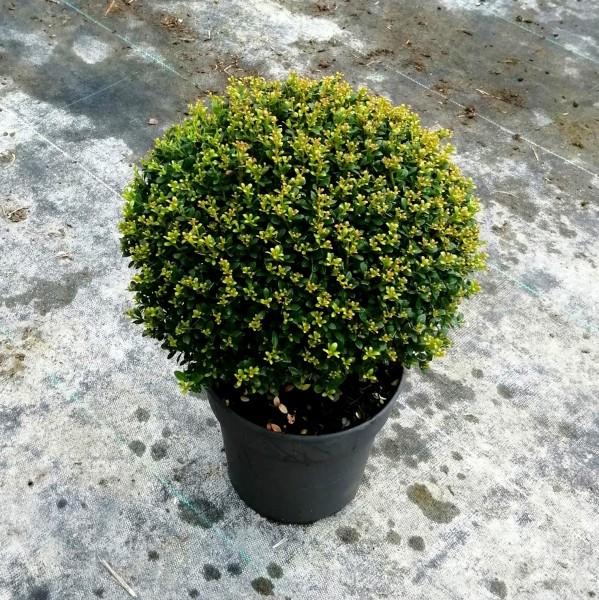 Japanische Stechpalme Ilex crenata 'Glorie Dwarf' immergrüne Kugel ca. 40-60 cm groß im 5 L Topf