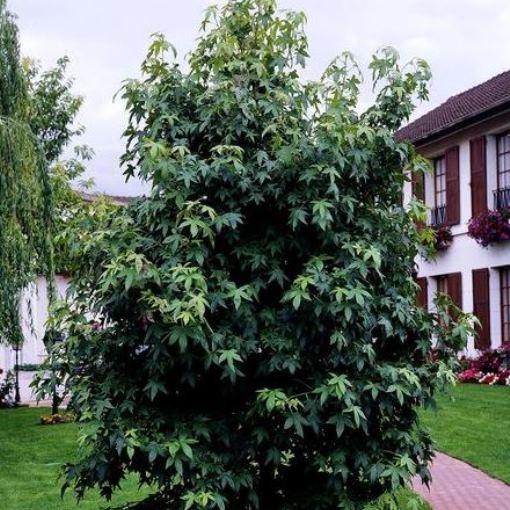 Amberbaum, Liquidambar styraciflua. 1 Pflanze, ca. 60-100 cm, Pflanze im 3-4 Liter Topf