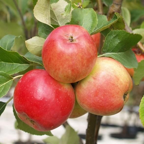 1a-plant JarleⓇSäulenapfel saftig süß mit gutem Säureanteil Geschmackssieger 60- 80 cm 5 L Topf M7