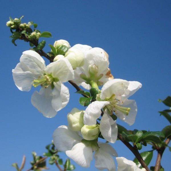 Zierquitte Jet Trail Scheinquitte weiße Blüte verwertbare Früchte ca. 30-60 cm im 3 Liter Topf