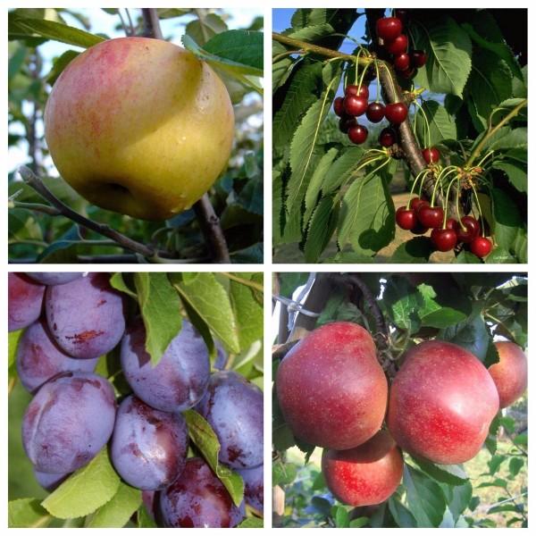 4er Set Obstbaum: 2x Apfelbaum 1x Kirsche 1x Zwetsche Dülmener Boskoop Schw. Knorpel Hauszwetsche