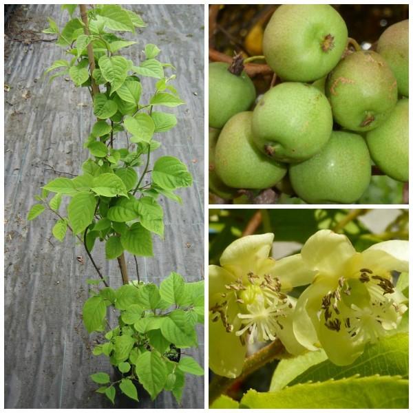 Kiwi SET: Neue Sorte Apfelkiwi und männliche Pflanze Milano Actinidia arguta 60-80 cm, 3 Liter Topf