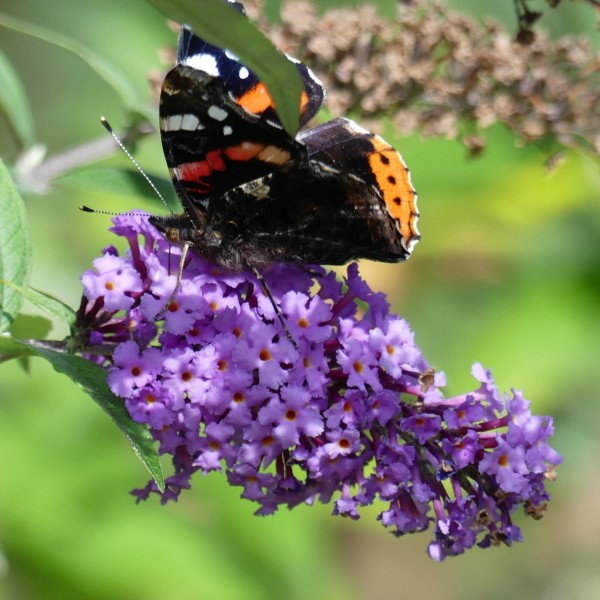 Sommerflieder Buddleja davidii Dart's Purple Rain purpur violett blühend schön duftend im 3 L Topf