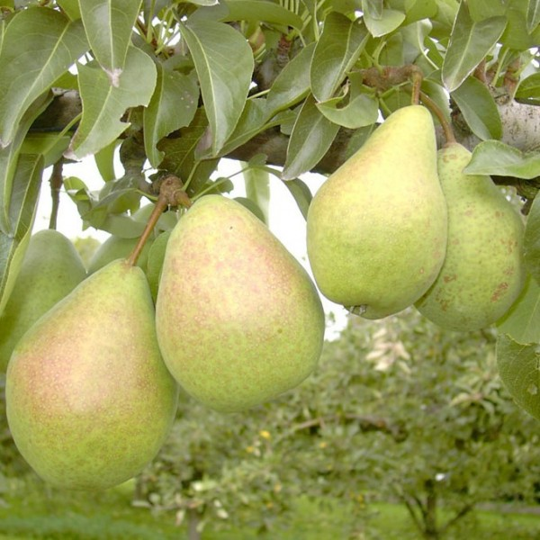 Birnenbaum Köstliche von Charneux, Birne Halbstamm 170-200 cm 10 Liter Topf, Unterlage: Sämling