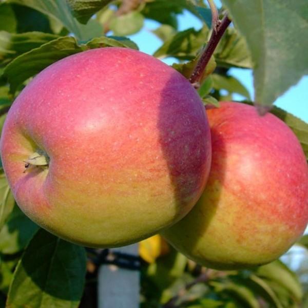 Apfelbaum Reglindis Ⓢ Herbstapfel weich und saftig Buschbaum 120-150 cm 7,5 Liter Topf Unterlage M9