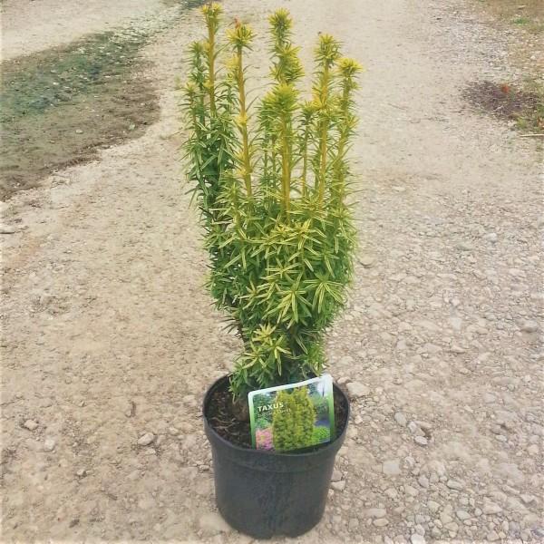Gelbe Säuleneibe - Taxus baccata David