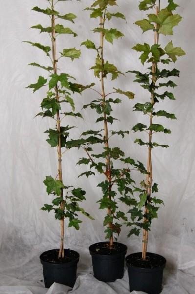 Spitzahorn, Ahorn, Acer platanoides, Hausbaum, Waldbaum, Heister mit ca. 125-150 cm, 5 Liter Topf