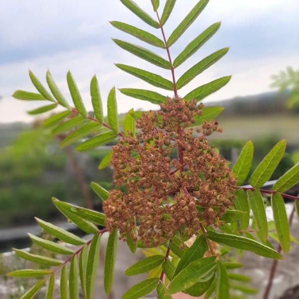 Amerikanische Eberesche Sorbus americana Heister Besonderheit ca. 150-200 cm im 5 Liter Topf