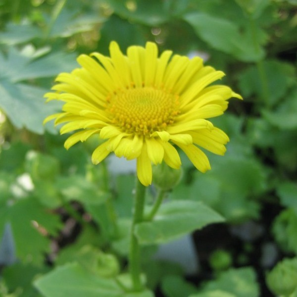 Gemswurz Doronicum or. Magnificum goldgelbe margeritenähnliche Blüte Staude im 0,5 Liter Topf