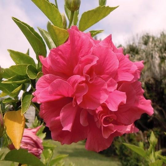 Gartenhibiskus Roseneibisch Hibiscus syriacus Duc de Brabant dunkelrosa Blüte 60-80 cm 5 Liter Topf
