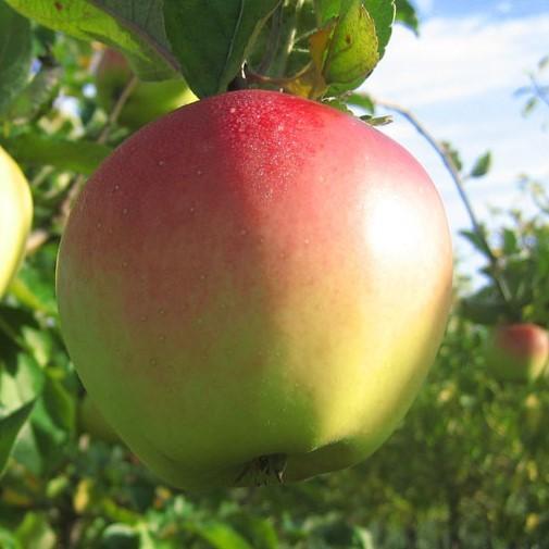 Riesenboiken - historische Apfelsorte